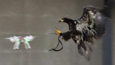 Holanda tem uma ideia para acabar com acidentes com drones: águias